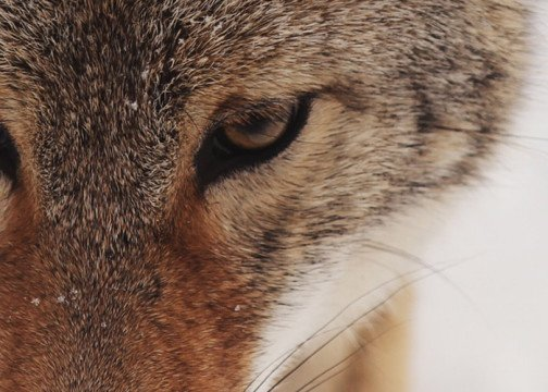 lobo (2)